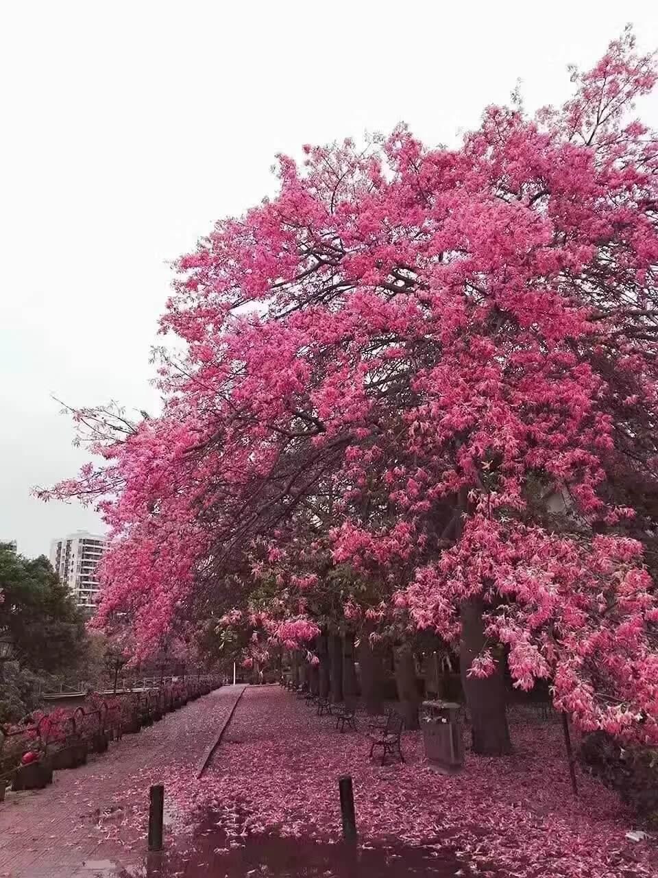 华软丝木棉节3.jpg